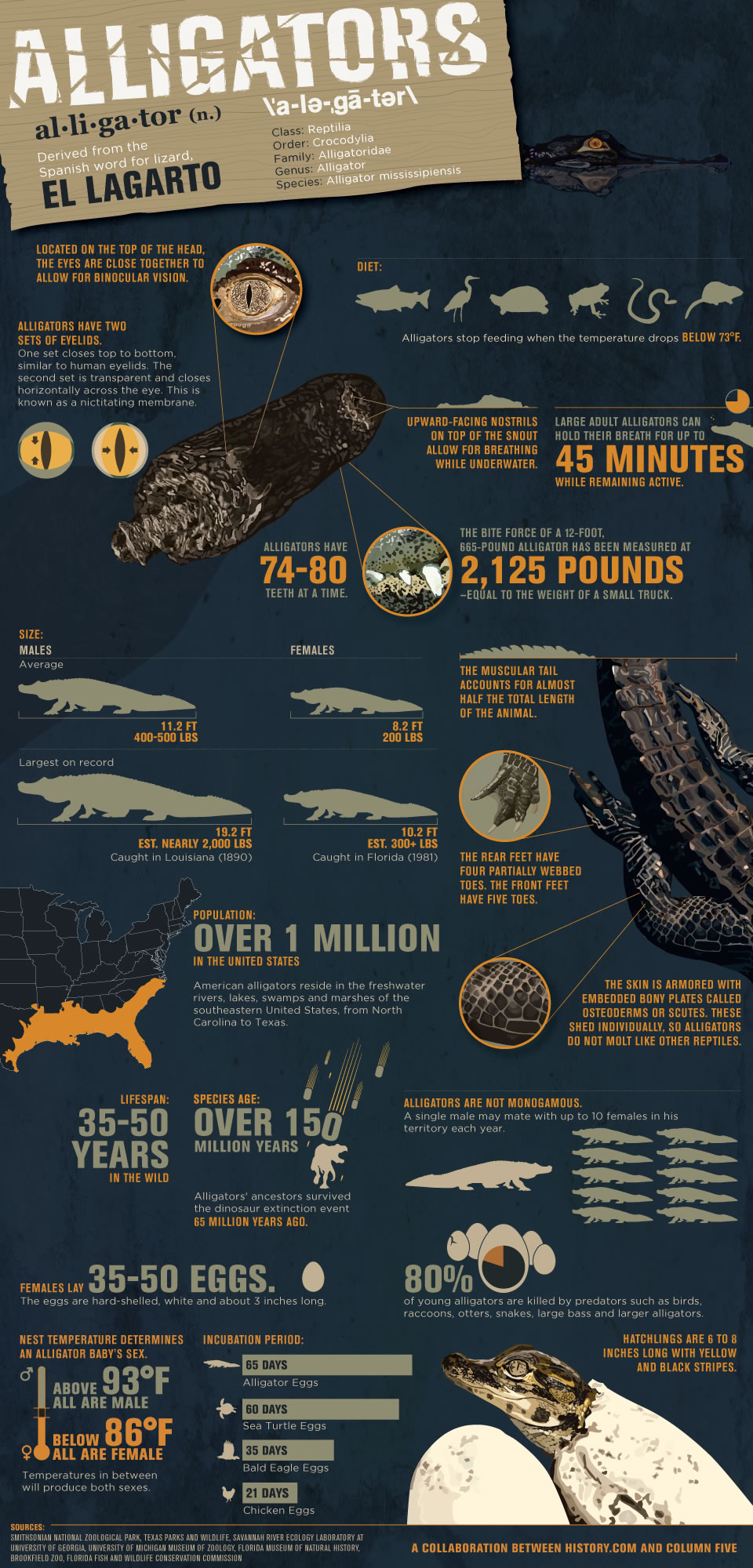 swamp-people-alligator-infographic