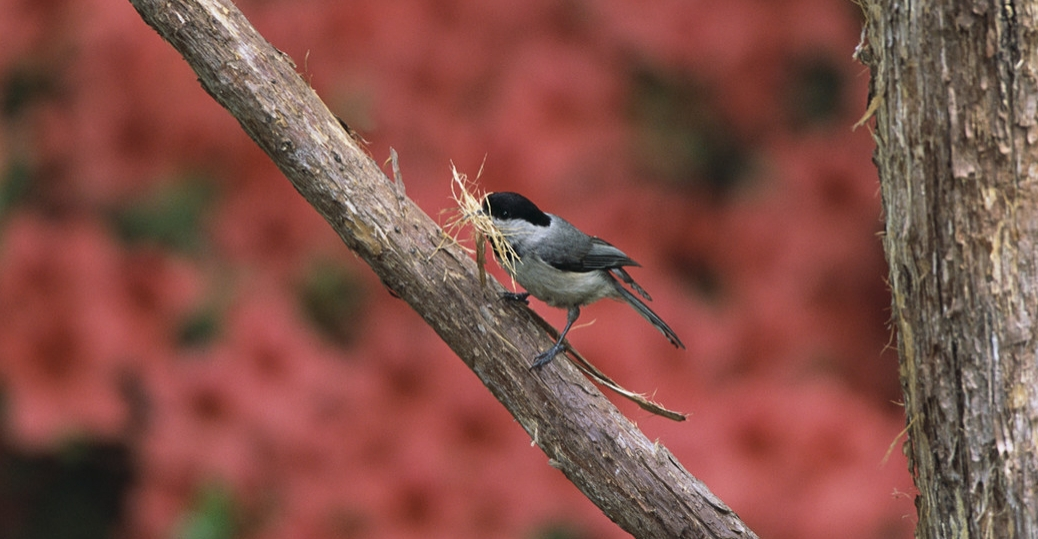 state bird, massachusetts, black capped chickadee