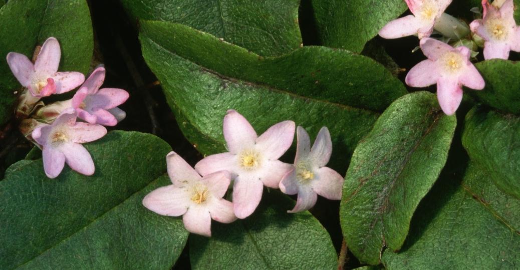 state flower, mayflower, massachusetts, trailing arbutus