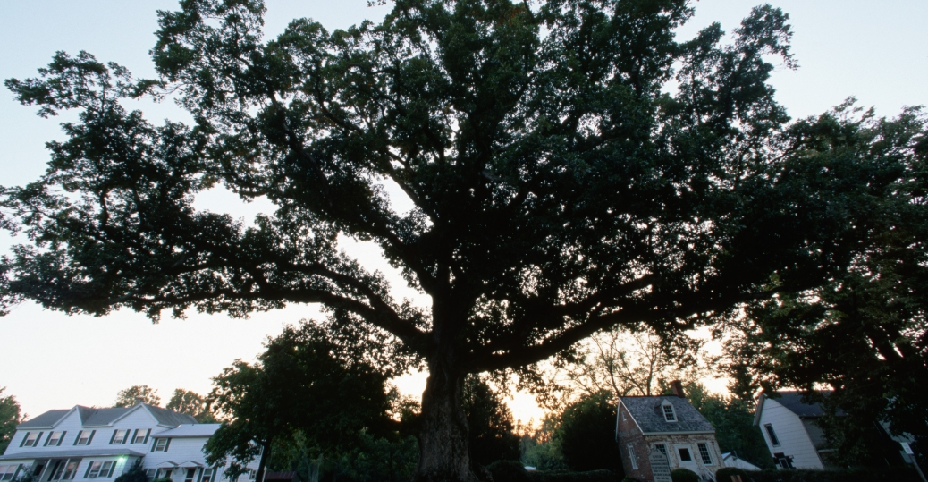 state tree, maryland, wye oak, oldest white oak, wye mills