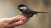 maine, state bird, the chickadee, chickadee