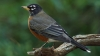 state bird, michigan, american robin