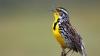 western meadowlark, state bird, montana