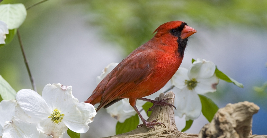 the cardinal, ohio, state bird