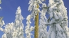 shasta red fir, white fir, douglas fir, trees, rogue river, national forest, winter, oregon