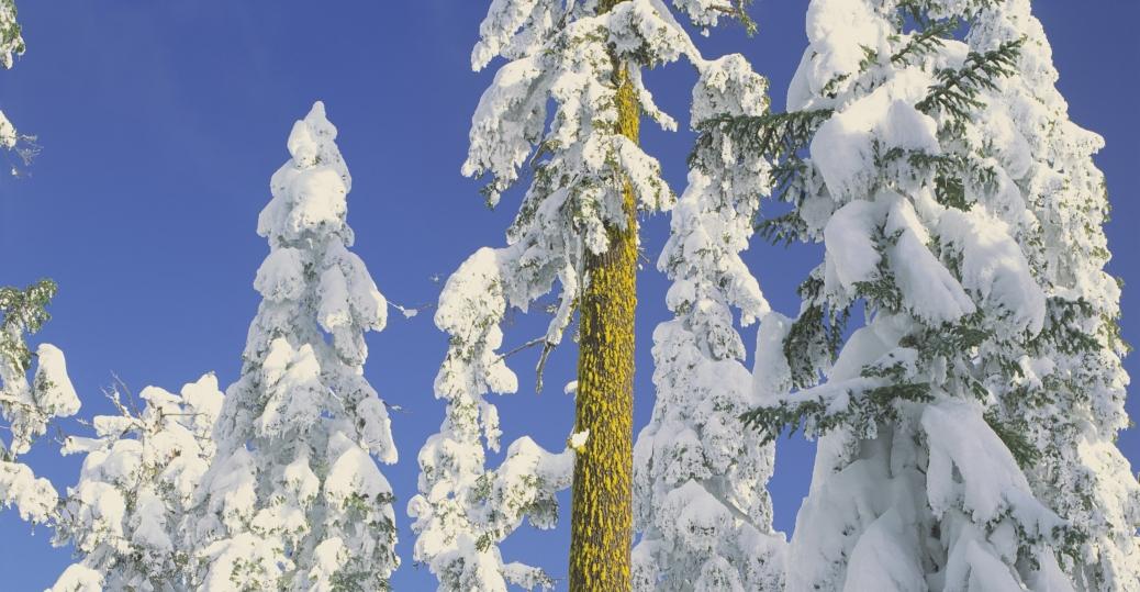 shasta red fir, white fir, douglas fir, trees, rogue river, national forest, winter, oregon