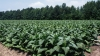 tobacco, south carolina, crop, field, tobacco field