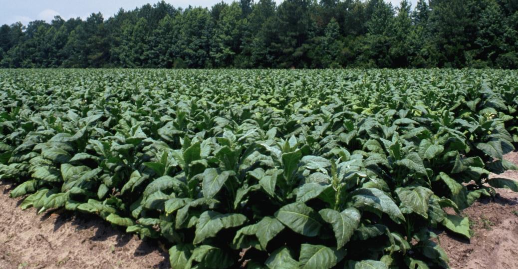 tobacco, south carolina, crop, field, tobacco field