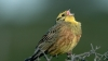 yellowhammer, state bird, northern flicker, alabama