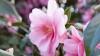 camellia japonica, state flower, alabama