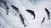 salmon, salmon jumping, brooks falls, alaska