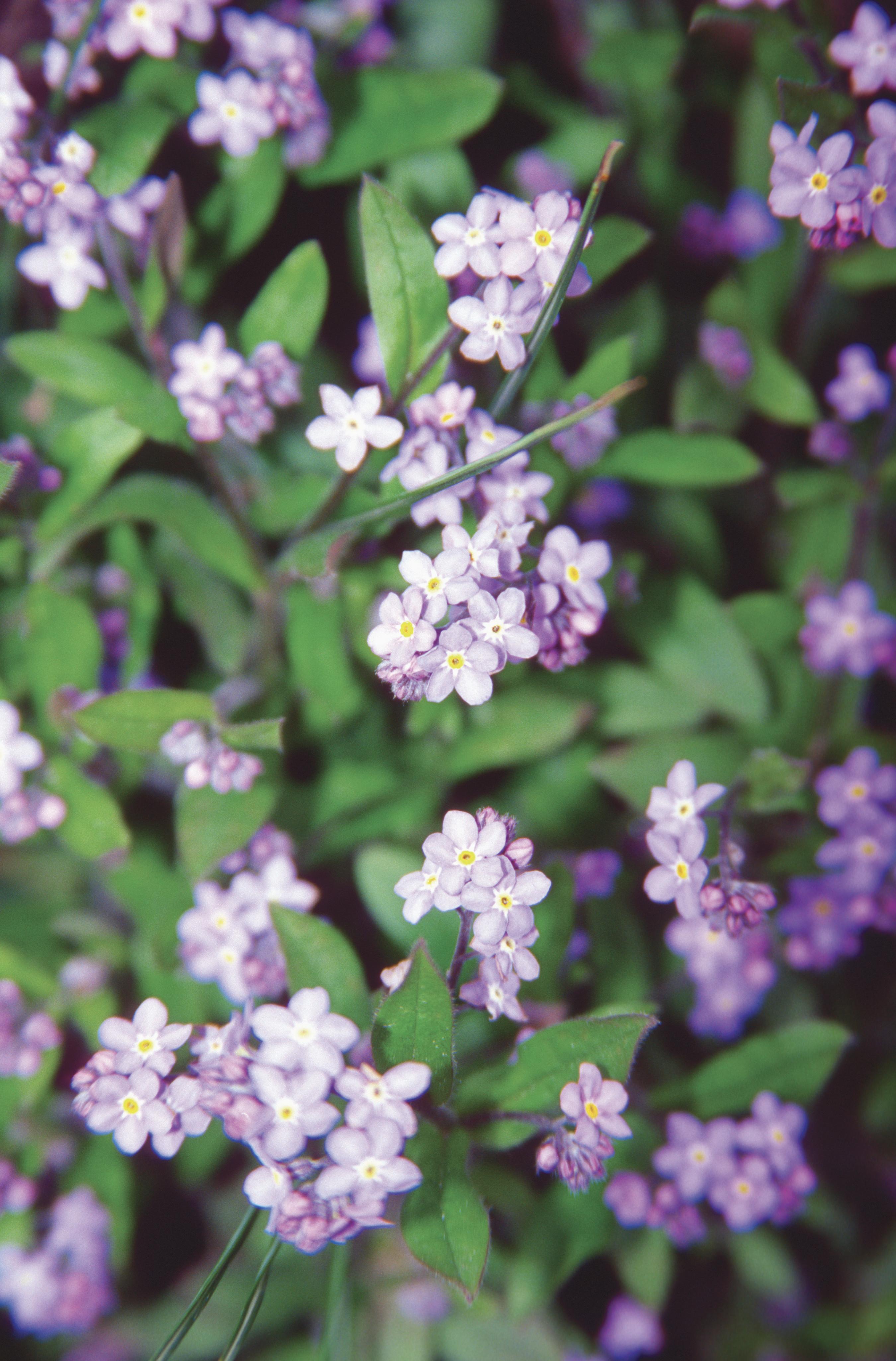 close up of alaskas state flower the for me not usa 2 Alaska