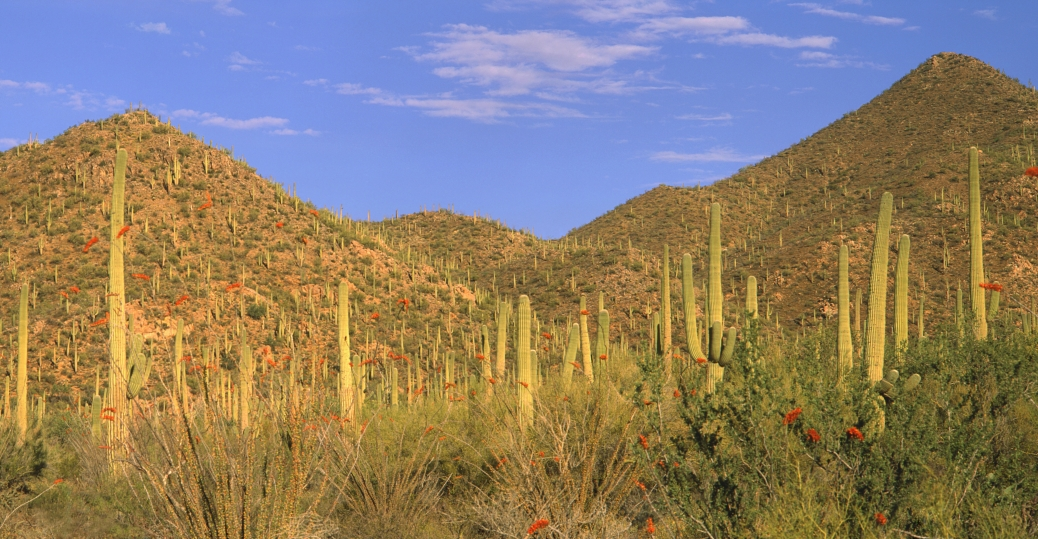 saguaro cactus, ocotillo, arizona