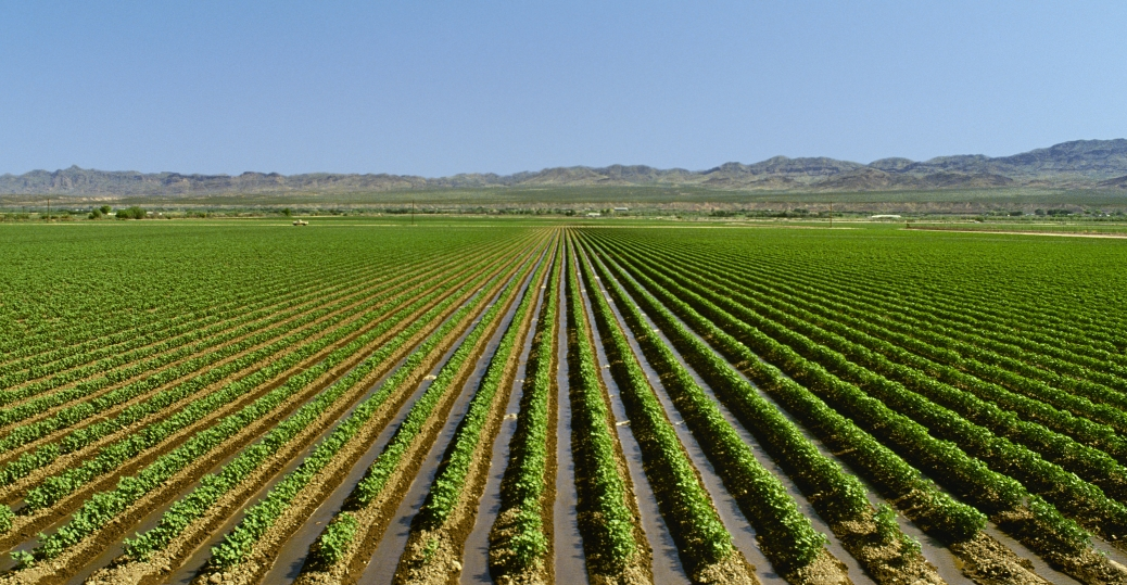 cotton, field, irrigated cotton, arizona