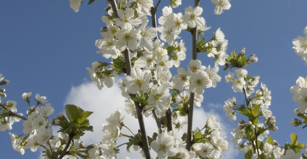 apple blossom, state flower, arkansas