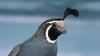 california, quail, lophortyx californica, valley quail, state bird
