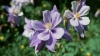white and lavender, columbine, aquilegia caerules, state flower, colorado