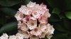 state flower, mountain laurel, native american shrubs, connecticut