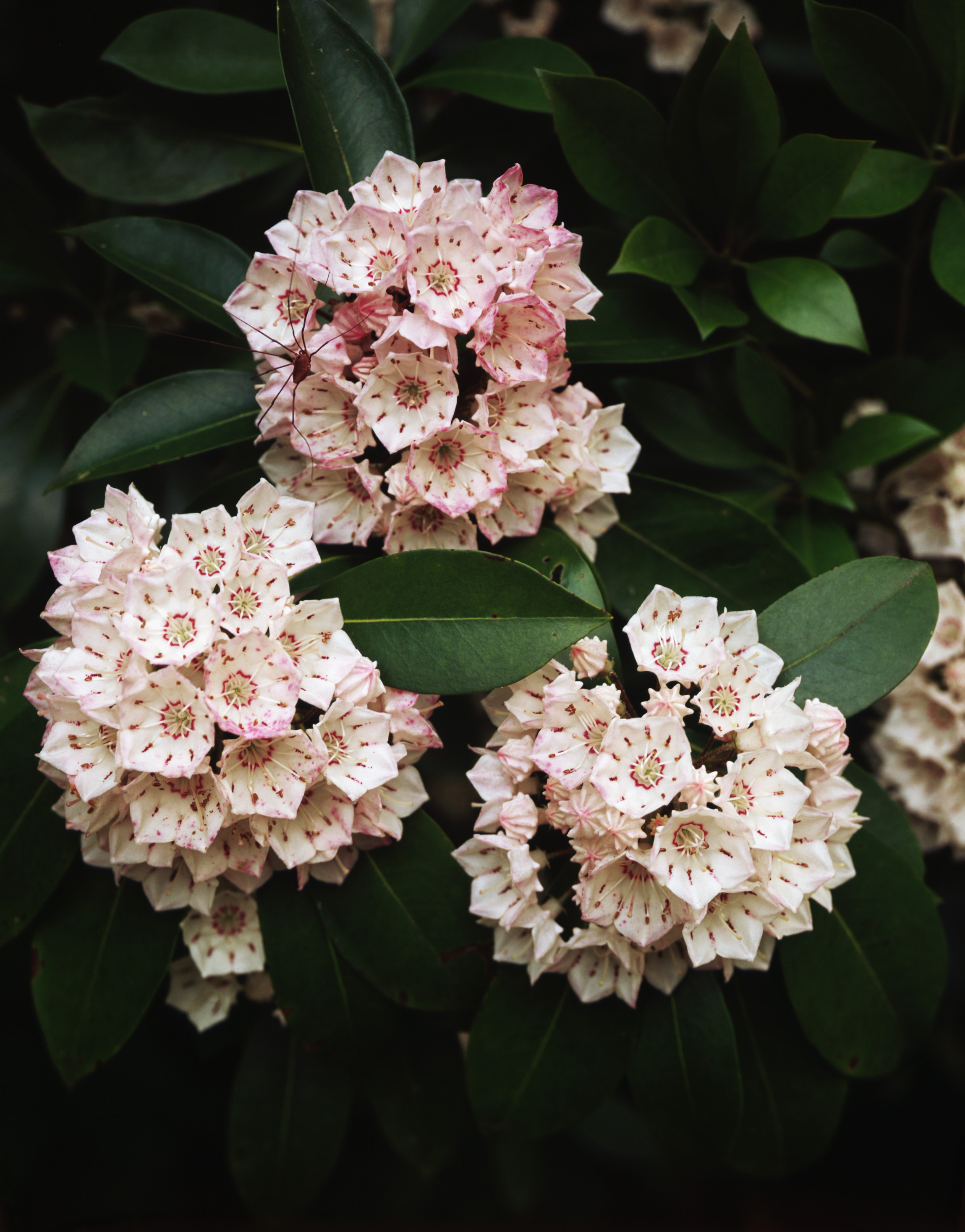 State Flower, Mountain Laurel, Native American Shrubs, Connecticut ‹ ›
