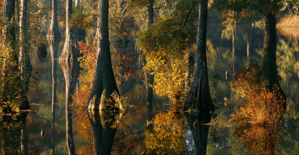 delaware, bald cypress trees, trussum pond, laurel