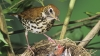 the wood thrush, state bird, district of columbia, washington d.c., cowbird, chicks