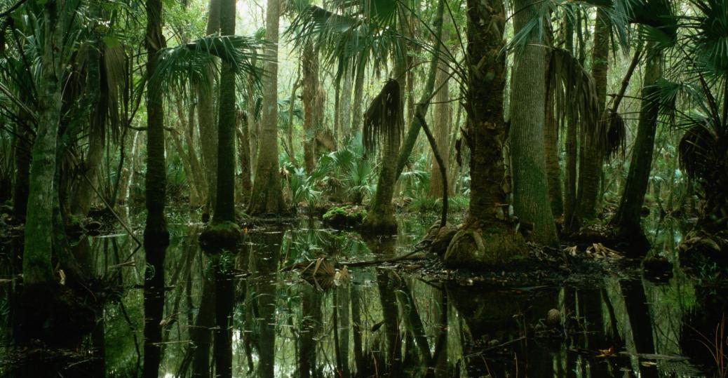 florida, sabal palm, sabal palmetto, state tree, cabbage palm, palmetto, cabbage palmetto, palm tree