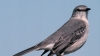northern mockingbird, mockingbird, florida, state bird, songbird