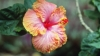 hawaii, state flower, hibiscus