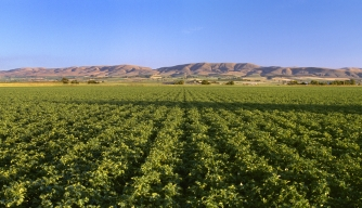 potato, state vegetable, idaho, field, potato field, russet potatoes