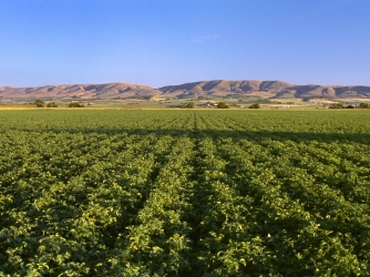 potato, state vegetable, idaho, field, potato field, russet potatoes
