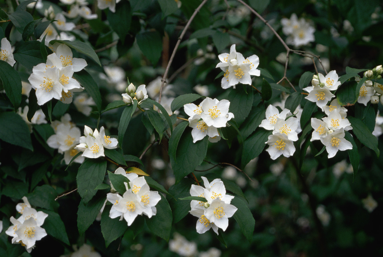 mock orange in bloom Idaho Idaho HISTORY