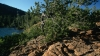 western white pine, white pine, state tree, idaho, serpentine