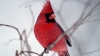 cardinal, state bird, illinois, chicago