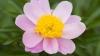 peony, paeonia, state flower, indiana
