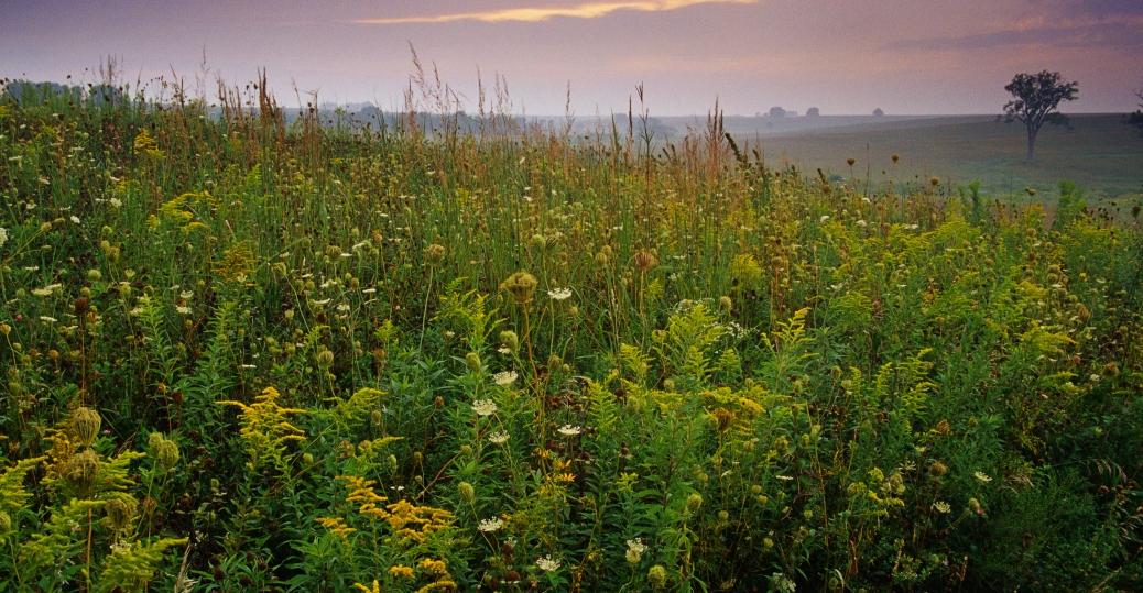 iowa, prairie, tall grass, maize, corn, weeds, fields