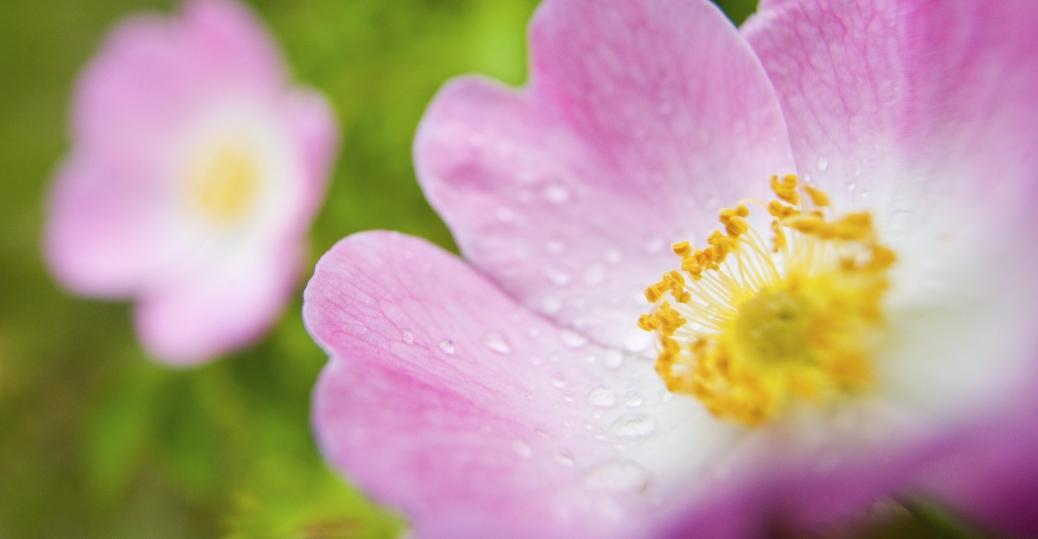 iowa, wild rose, state flower, battleship uss iowa, the silver service