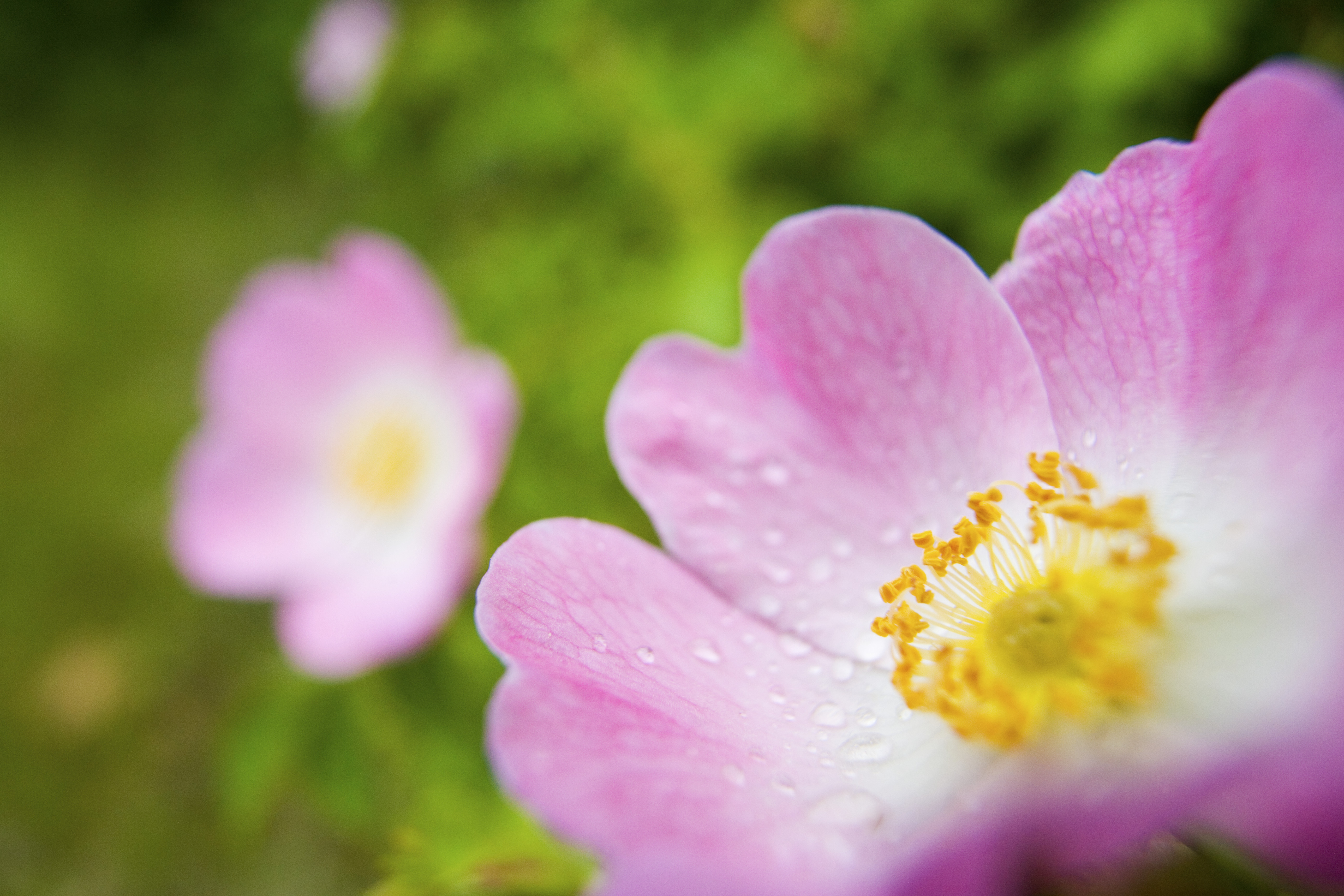 water-drops-on-pink-wild-rose - Iowa Pictures - Iowa ...