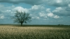 oak, tree, state tree, iowa, oak tree, corn field
