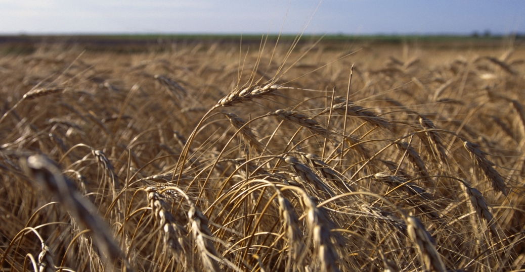 wheat, wheat field, kansas