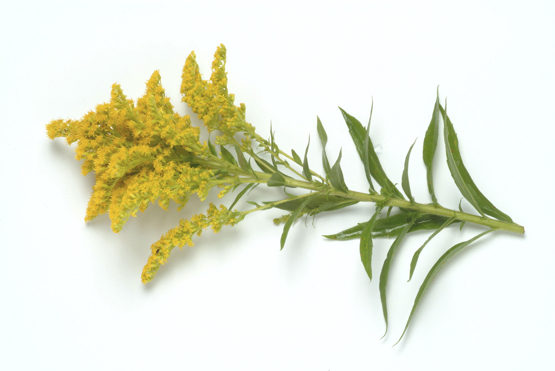 goldenrod flowers Kentucky Kentucky HISTORY