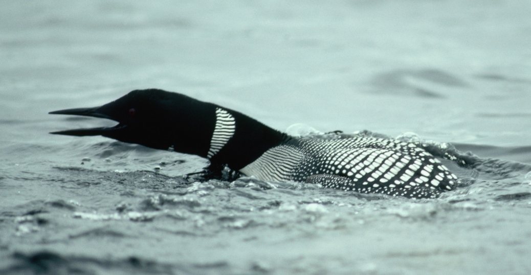 common loon, minnesota, state bird