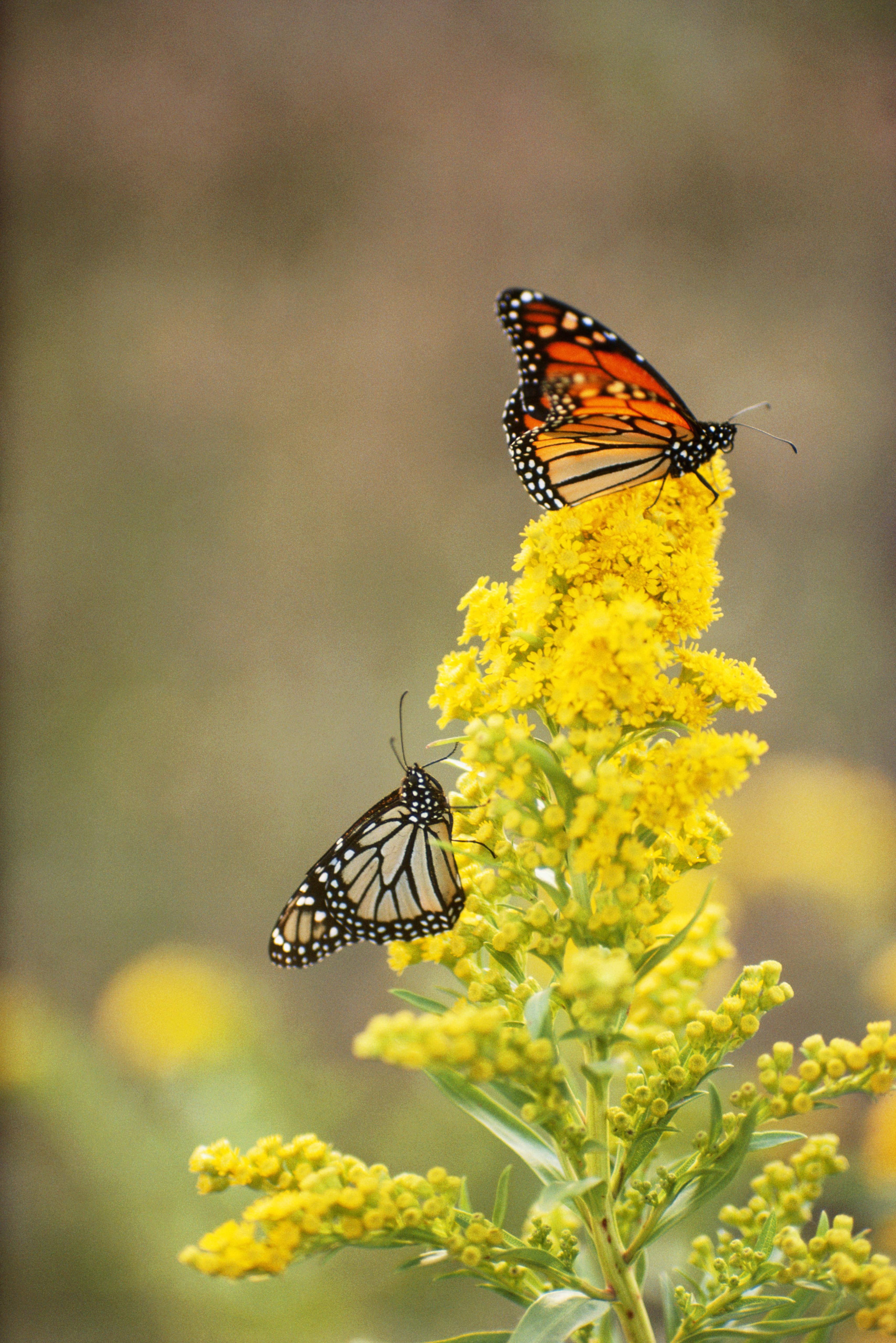 Monarch Butterflies On Goldenrod Flowers Nebraska