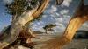 bristlecone pine, state tree, nevada