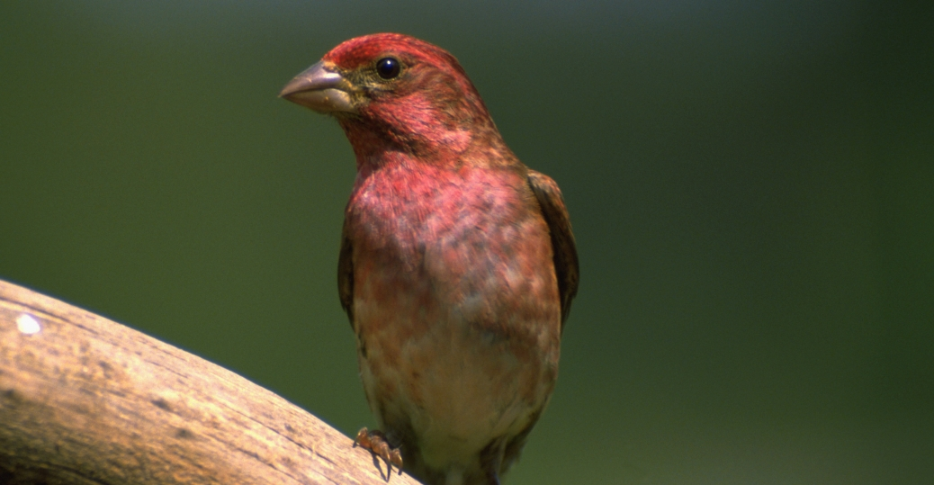 the purple finch, new hampshire, state bird