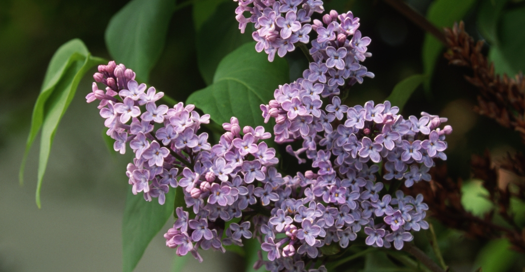 the purple lilac, purple lilac, new hampshire, state flower