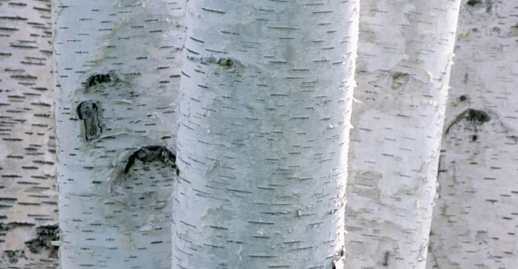 state tree, the white birch, new hampshire
