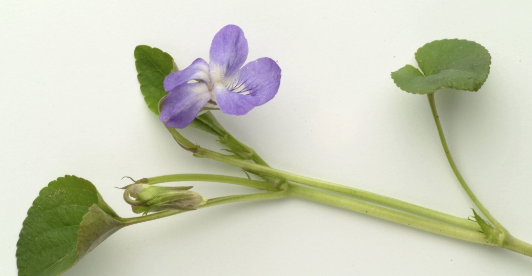 state flower, new jersey, violet