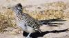 roadrunner, new mexico, state bird