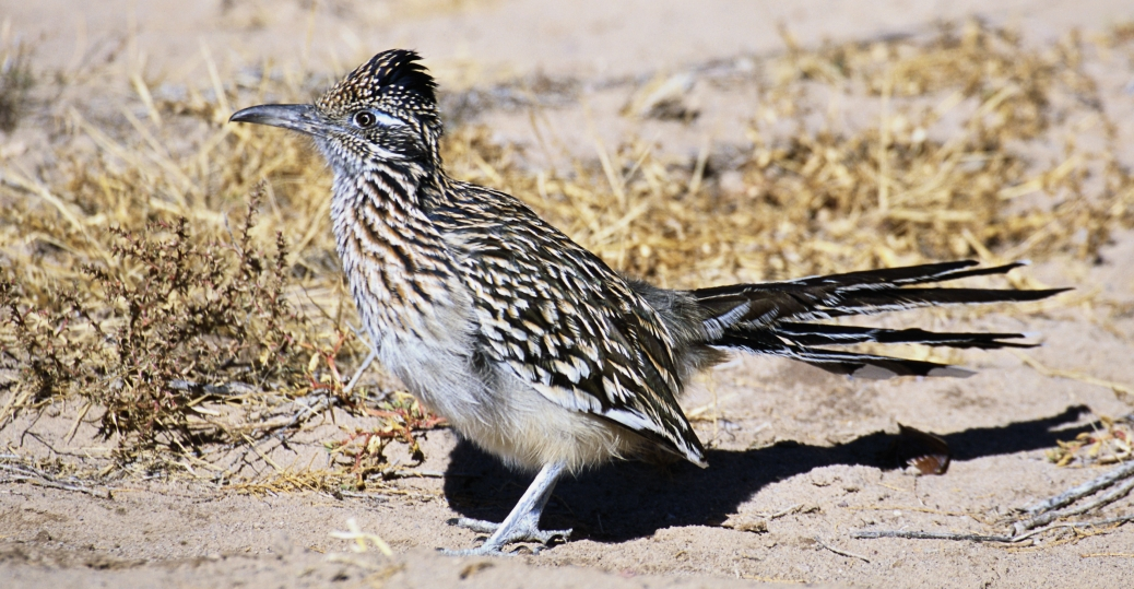 roadrunner, new mexico, state bird