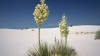 yucca flower, state flower, new mexico, white sands national monument